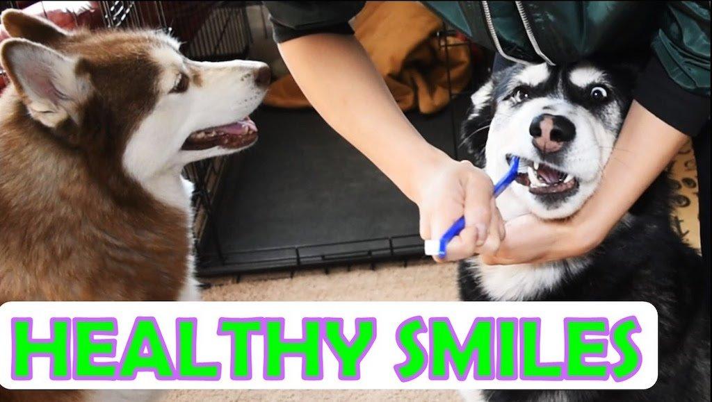 3 Ways To Maintain A Siberian Huskys Dental Health