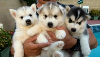 23 Reasons Why Siberian Huskies Are the Best Dogs EVER!!!