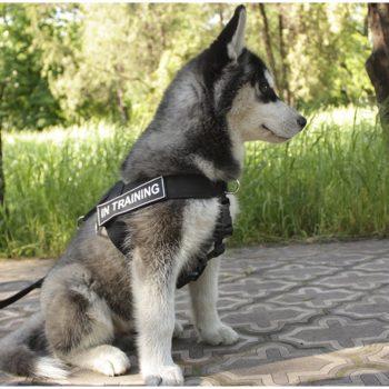 siberian husky wearing dog harness