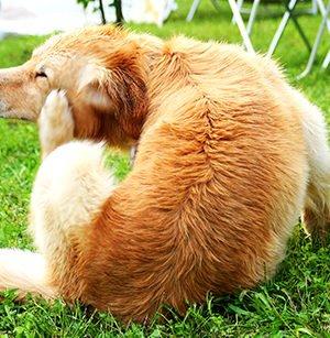 131213-Dog-Scratching