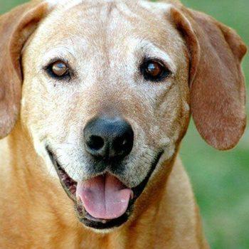 7-reasons-to-adopt-a-senior-dog