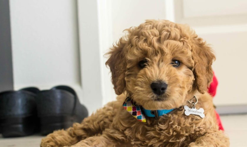 Mini-Goldendoodle_1 (1)