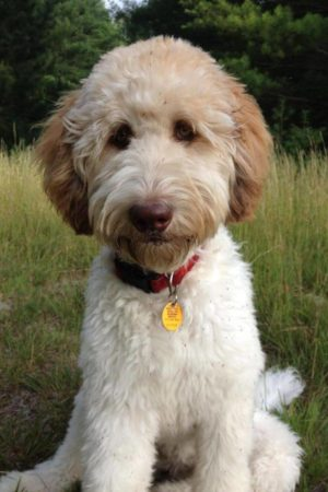 bd3fe61fb15cfe6647d832d04bcce1e0–goldendoodle-grooming-goldendoodle-haircuts (1)