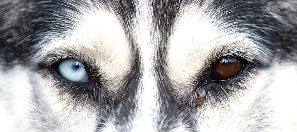 100 Fun Facts About Siberian Huskies - BarkForce