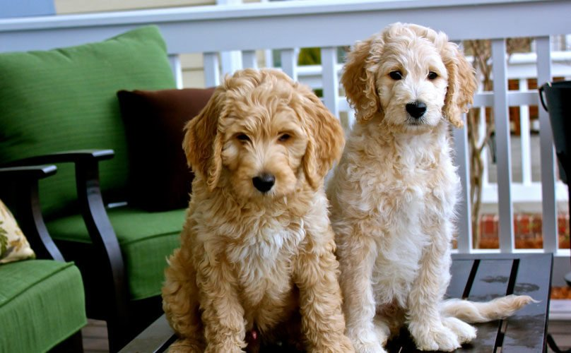 carriage_house_goldendoodle_1
